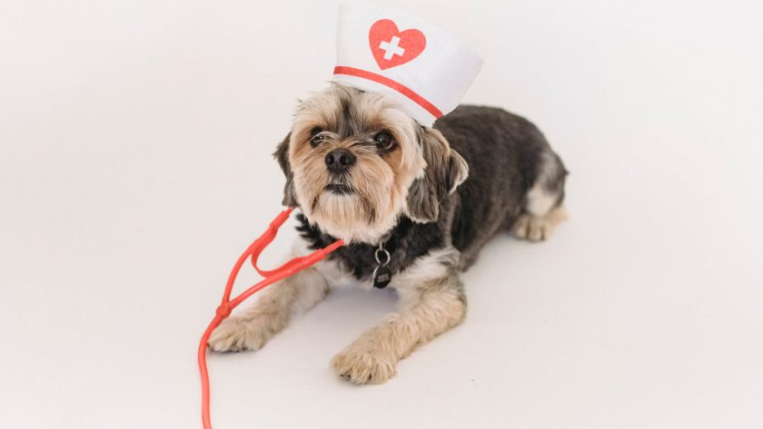 small dog dressed like doctor lying on white surface